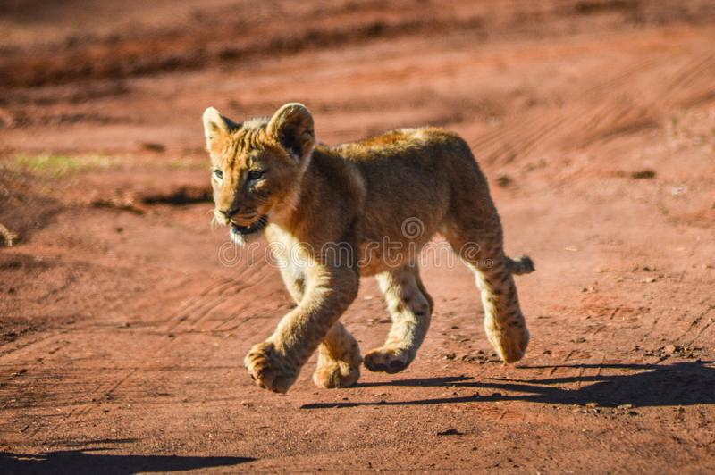 Nette und entzückende braune Löwejunge, die in eine Spielreserve in Johannesburg Südafrika laufen und spielen lizenzfreie stockbilder