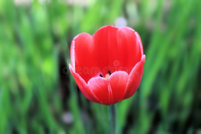 Nette und schöne rote Tulpe auf einem Hintergrund des Spaßgrases stockbild