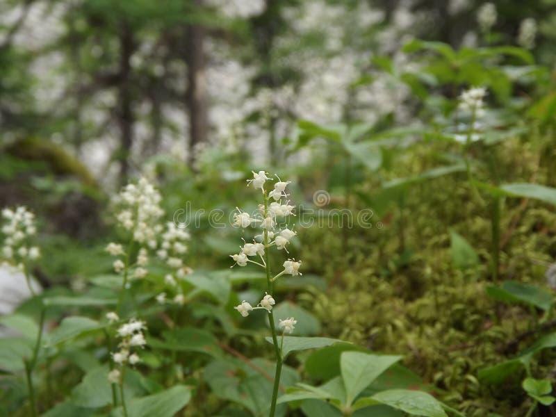 Nette weiße Blumen auf dem Waldweg stockbilder