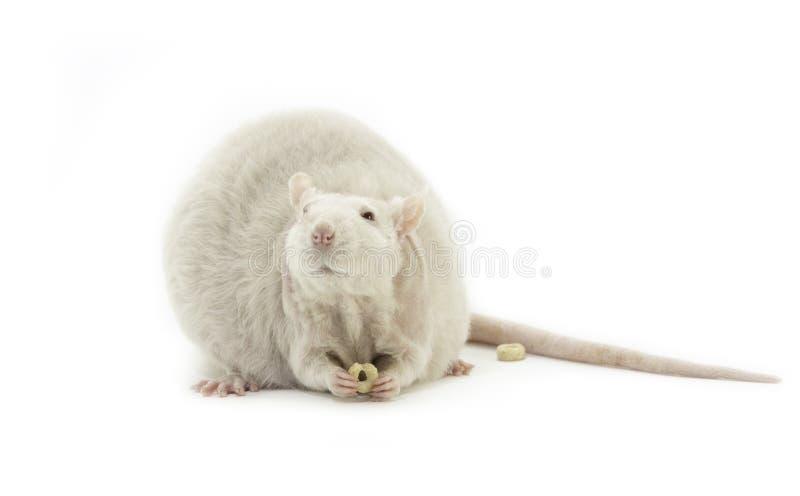 Nette weiße Haustierratte, die einen Snack isst lizenzfreie stockbilder