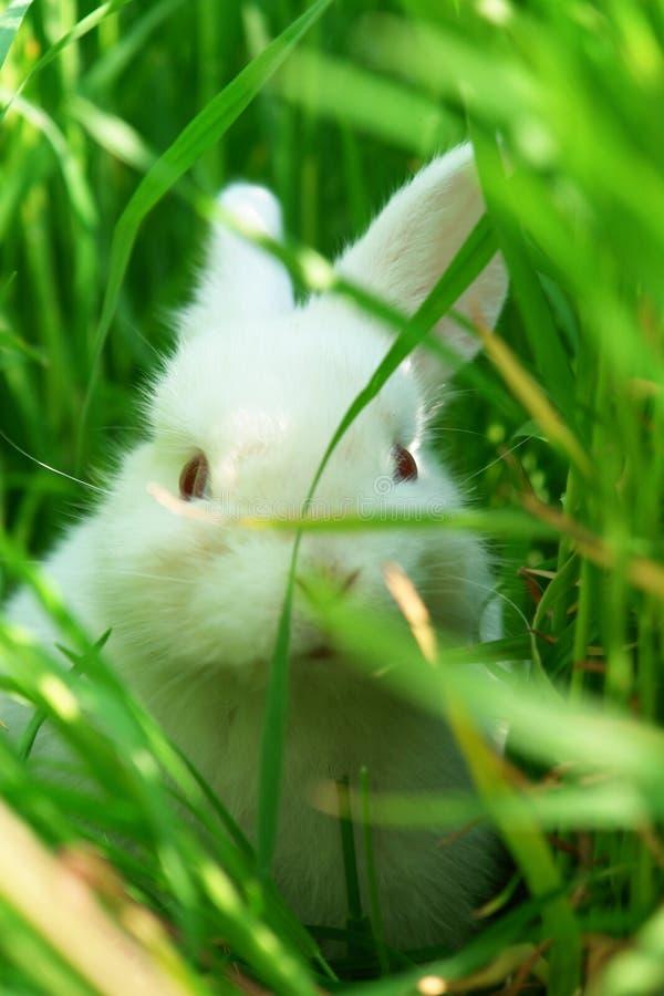 Nette weiße Kaninchenfelle auf Gras stockfotografie