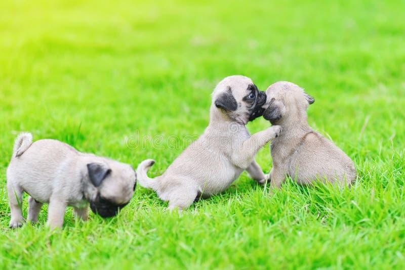 Nette Welpen brauner Pug im grünen Rasen lizenzfreies stockfoto