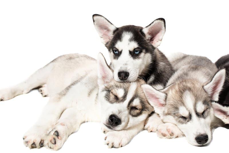 Nette Welpen des sibirischen Huskys auf weißem Hintergrund lizenzfreie stockfotografie