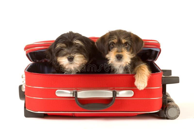 Nette Welpenbrüder im Koffer stockfoto