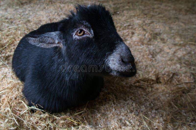 Nette Ziege auf dem Heu, das Sie betrachtet lizenzfreies stockfoto