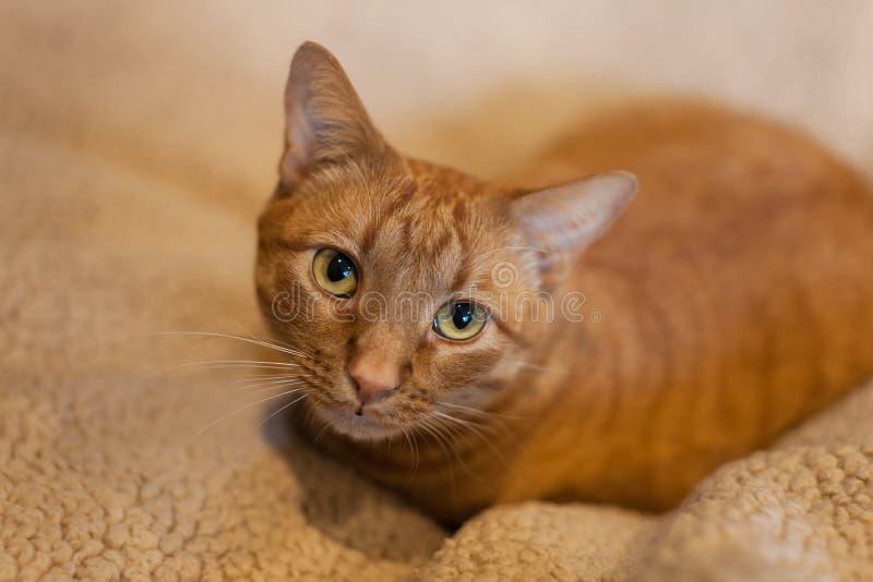 Netter Abschluss oben der orange Katze der getigerten Katze lizenzfreies stockfoto