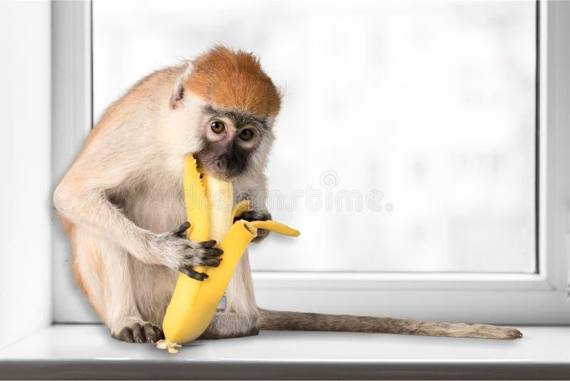 Netter Affe, der die Banane betrachtet Kamera isst stockbild