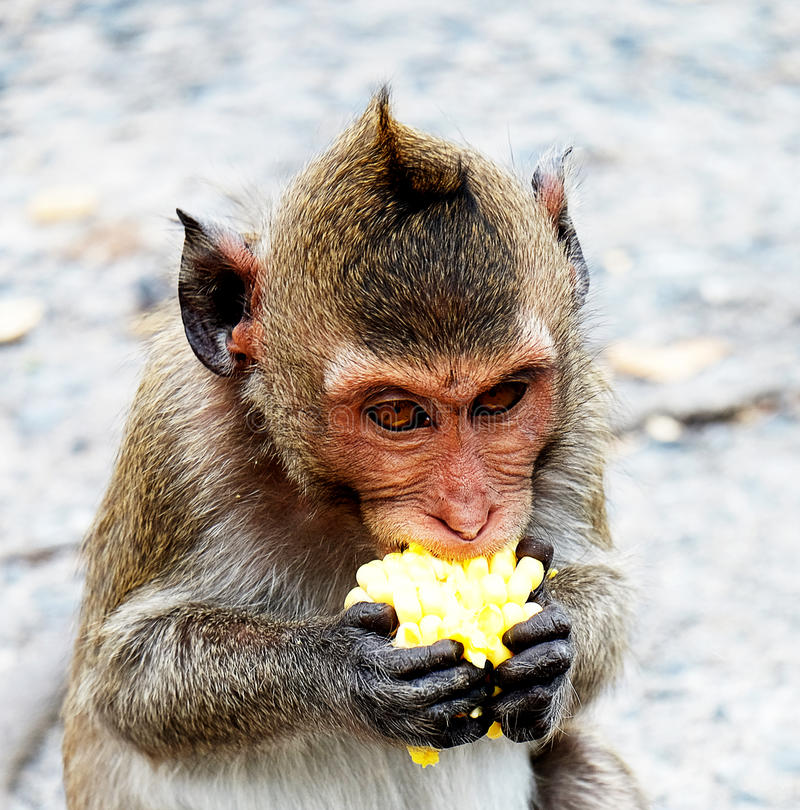 Netter Affe lebt in einem Naturwald von Thailand lizenzfreies stockbild