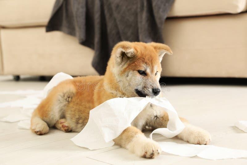 Netter Akita-inu Welpe, der mit Toilettenpapier spielt lizenzfreies stockbild