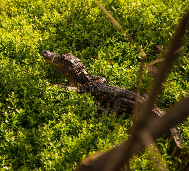 Netter Babyalligator im Unterholz stockfotos