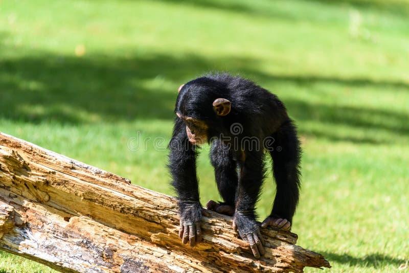 Netter Babyschimpanse stockfotografie
