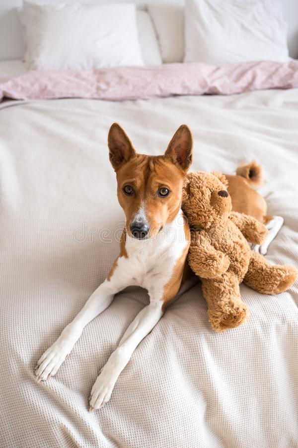 Netter basenji Hund mit Teddybären betreffen Bett stockfoto
