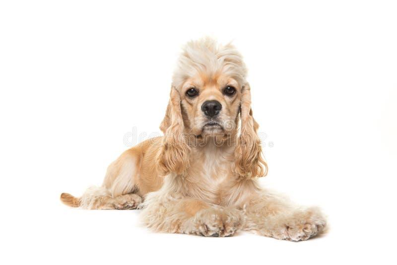 Netter blonder erwachsener cocker spaniel-Hund, der sich hinlegt stockfotografie