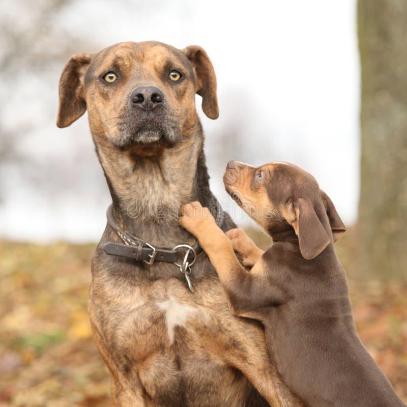 Hund Louisianas Catahoula Erschrocken Vom Parenting Stockbild