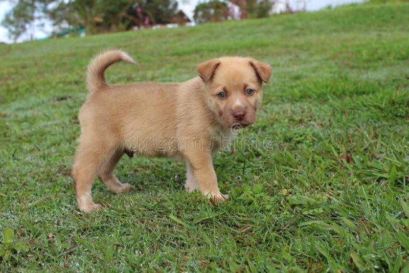 Netter brauner Neu-Guinea Gesang-Hundemischungswelpe stockfotos