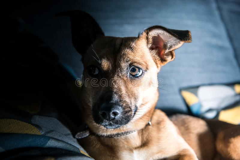 Netter brauner Welpe, der auf einem Sofa sitzt - Hundephotographie - Lieblingshaustier - Mischrassehund, - Bastarde stockbilder