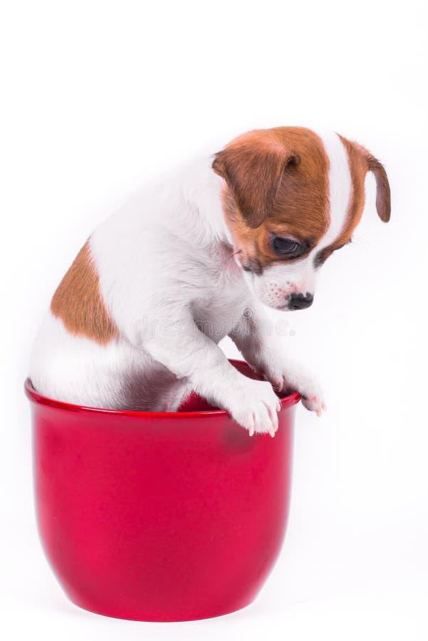 Netter Chihuahuawelpe, der hinunter das Sitzen in einem roten Topf schaut lizenzfreie stockfotos