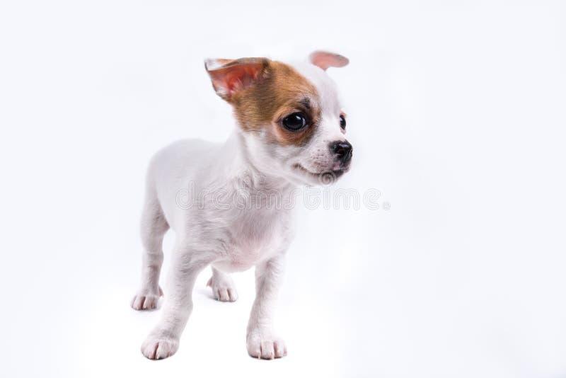 Netter Chihuahuawelpe, der rechts schaut stockbild