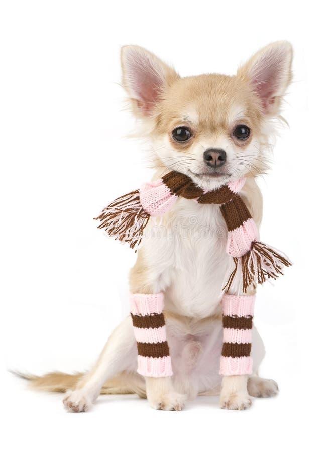 Netter Chihuahuawelpe mit gestreiften Socken und Schal lizenzfreie stockfotografie
