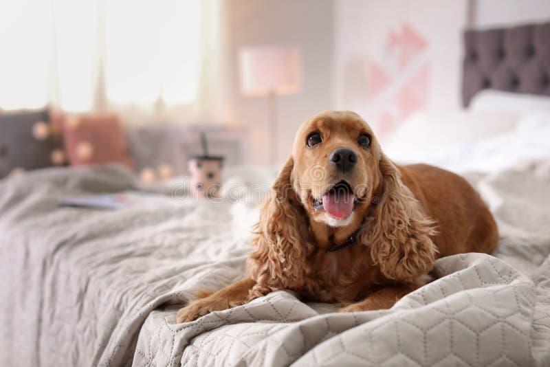 Netter Cocker Spaniel-Hund auf Bett zu Hause stockbilder