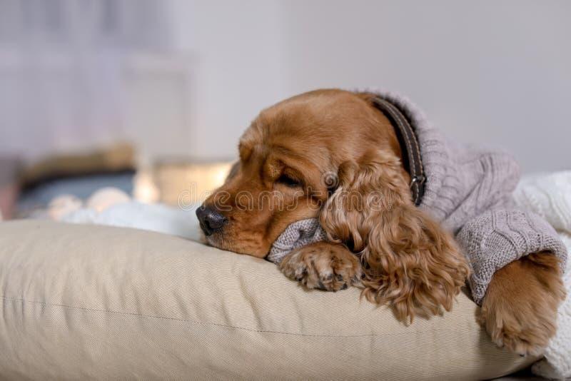 Netter Cocker Spaniel-Hund in der gestrickten Strickjacke, die zu Hause auf Kissen liegt lizenzfreies stockfoto