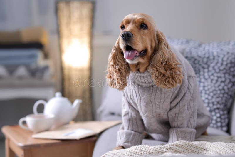 Netter Cocker Spaniel-Hund in gestrickter Strickjacke auf Sofa zu Hause stockfotografie