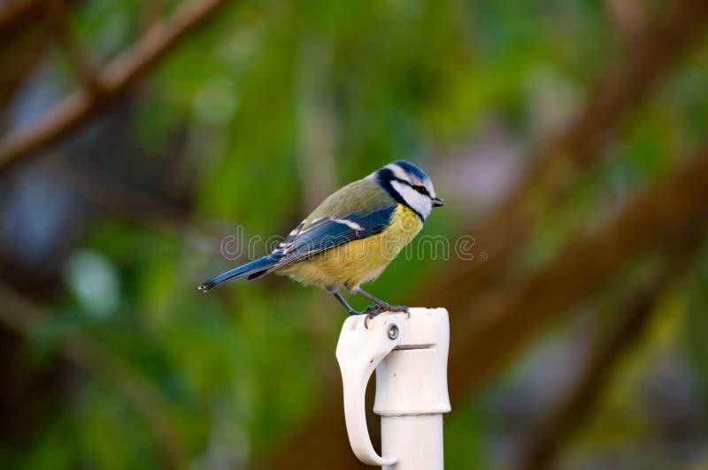 Netter cyanistes caeruleus bluetit Vogel hockte auf Pfosten stockfotos