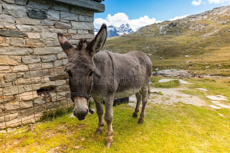 Netter Esel, der Gras in der Berglandschaft isst lizenzfreie stockbilder