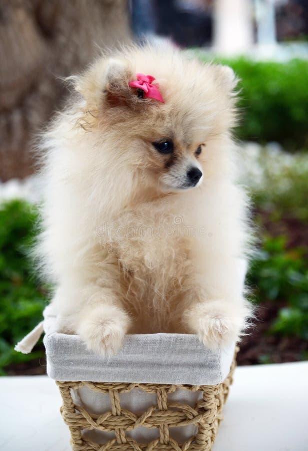 Netter flaumiger Pomeranian-Spitzwelpe, der in einem Korb auf einem Weg im Park sitzt Hunderassekonzept lizenzfreie stockbilder
