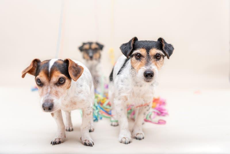 Netter frecher Hund der Partei drei Jack Russell verfolgt bereites zum Karneval lizenzfreie stockbilder