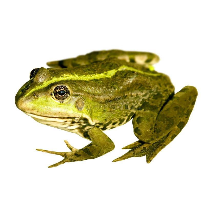 Netter Frosch stockfotos