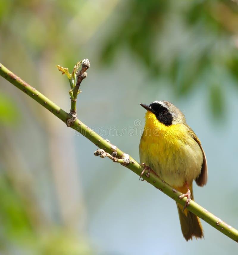 Netter gelber abgedeckter Vogel lizenzfreie stockfotos