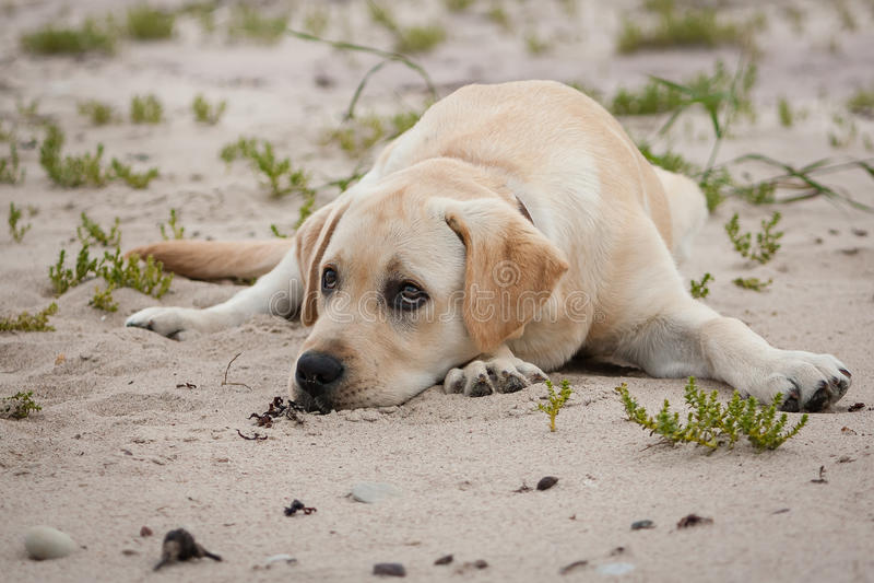 Netter gelber Labrador-Welpe stockbilder