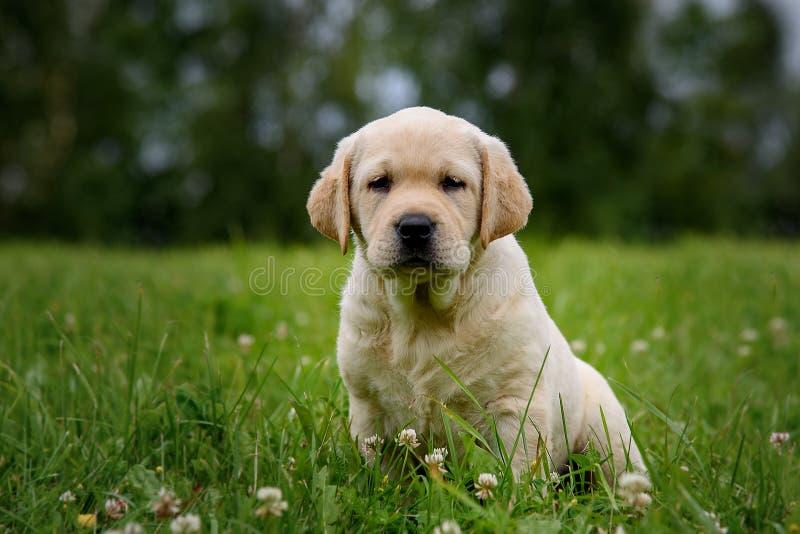 Netter gelber Welpe Labrador retriever auf Hintergrund des grünen Grases lizenzfreies stockfoto