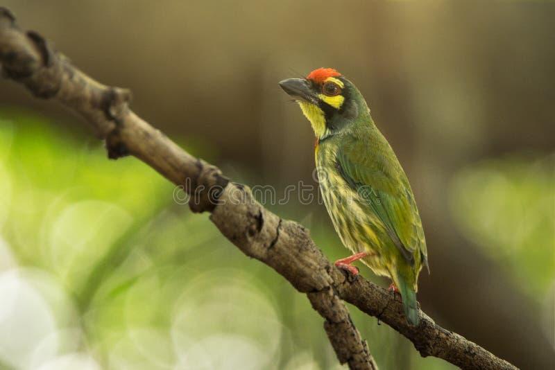 Netter Gelbgrünvogel, Kupferschmied Barbet, der auf Baumast mit schönem Bokeh sitzt lizenzfreie stockfotografie