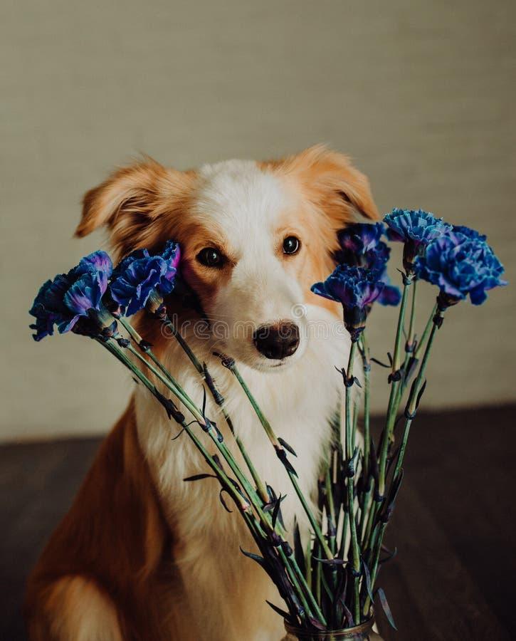 Netter glücklicher Hund border collie macht eine lustige Haltung und haftet seine Zunge und holt Blumen stockbild