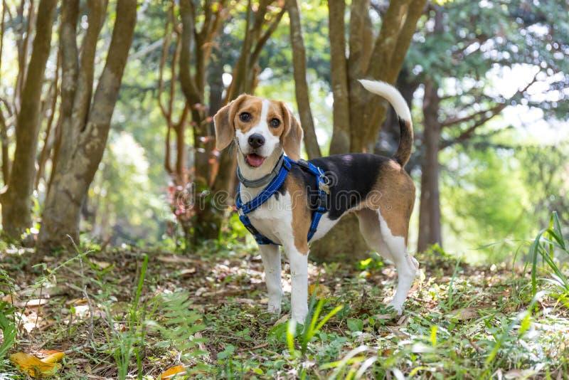 Netter glücklicher Spürhundhund, der in den Wald wandert stockfotografie