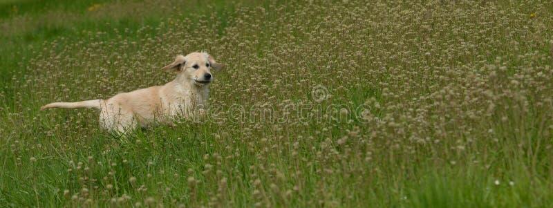 Netter golden retriever-Welpe im hohen Gras lizenzfreies stockfoto