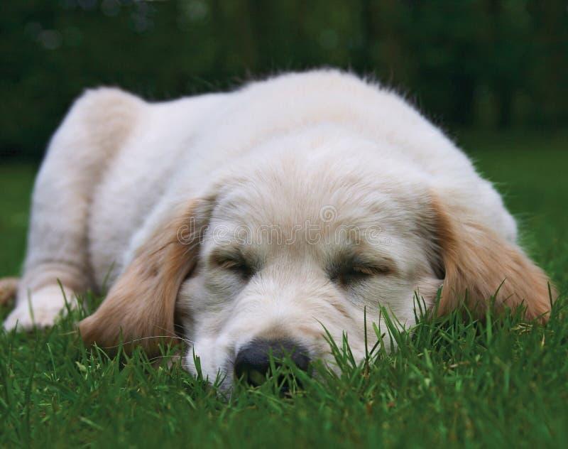 Netter goldener Apportierhund-Welpe lizenzfreie stockfotos