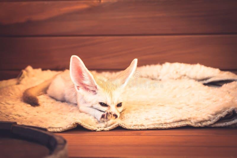 Netter Haustierfuchs entspannen sich auf der weichen Bettwäsche, die seine Auflagen ausdehnt lizenzfreie stockfotos