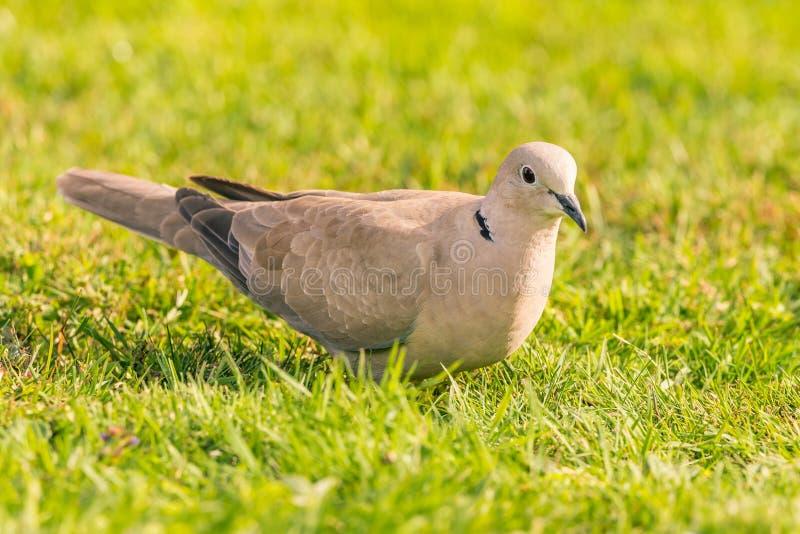 Netter hellgrauer Turteltaubevogel gehockt auf Rasen stockfoto