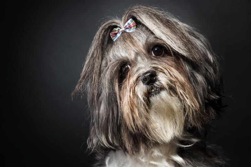 Netter Hund Bichon Havanese, der Kopf auf schwarzem Hintergrund kippt lizenzfreie stockbilder