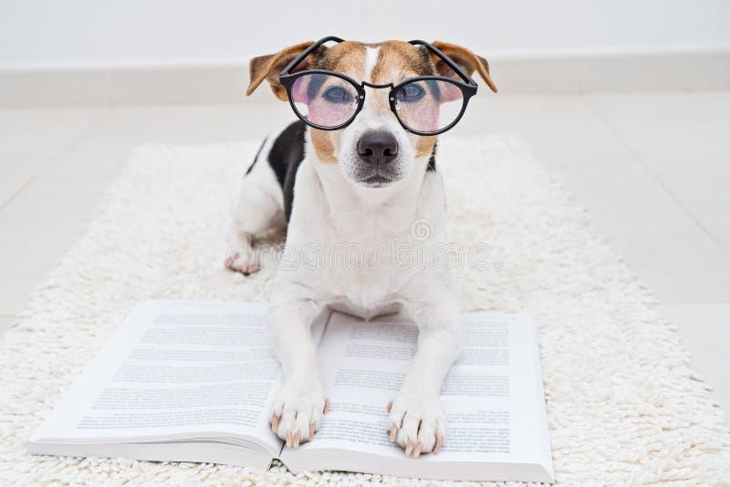 Netter Hund in den Brillen mit Buch stockfotos