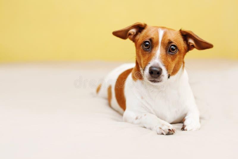Netter Hund, der auf Bett liegt und in camera schaut lizenzfreie stockfotos