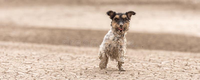 Netter Hund, der auf trockenem sandigem Boden und Spaß haben läuft Jack Russell Terriers 4 Jahre jung stockfotos
