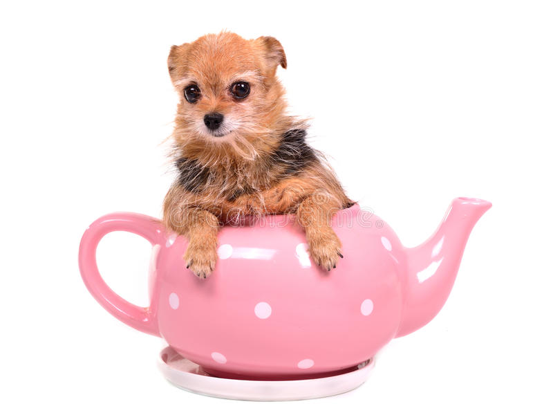Netter Hund, der innerhalb des Potenziometers des rosafarbenen Tees sich versteckt stockbild