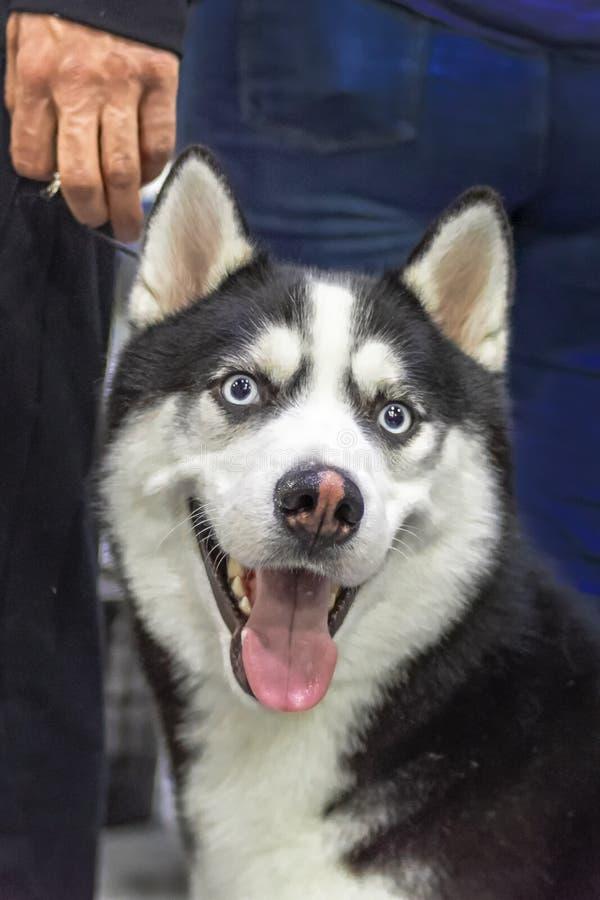 Netter Hund des sibirischen Huskys des Porträts mit blauen Augen auf dunklem Hintergrund Schöner Hund des netten Porträts lizenzfreie stockbilder
