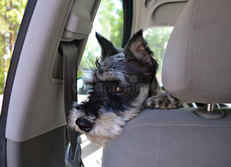 Netter Hund im Automobil stockbilder