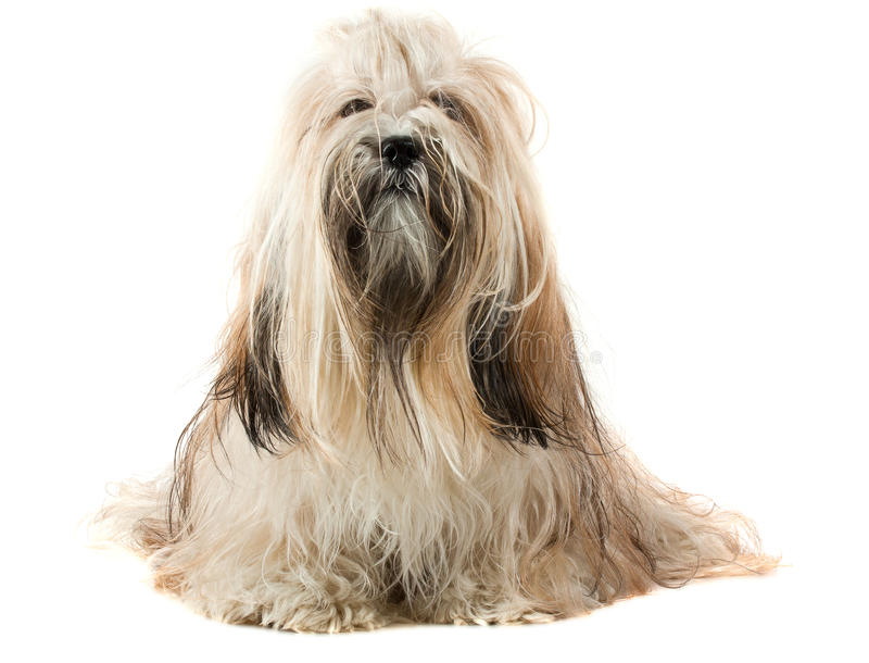 Netter Hund Lhasa-Apso stockfoto