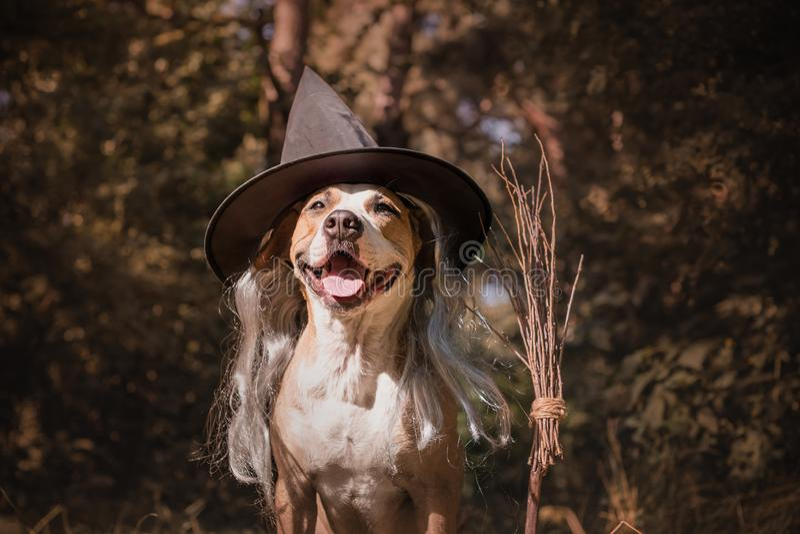 Netter Hund mit Besenstiel kleidete oben für Halloween als freundliche FO an stockfotografie